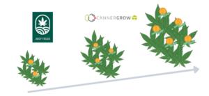 Crowd Growing in Cannabis Pflanzen